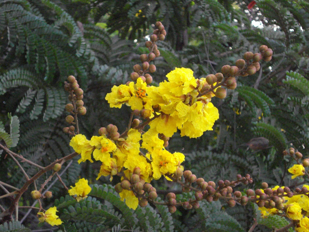 Golden Blooms In Mumbai Flowering Trees With Yellow Blossom