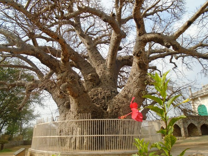 Giant baobab of Hyderabad